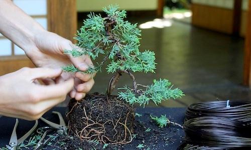 Como criar uma árvore de Bonsai