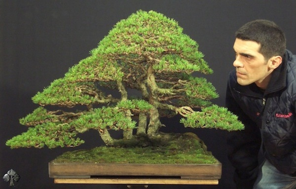 Bonsai de Pinus Sylvestris