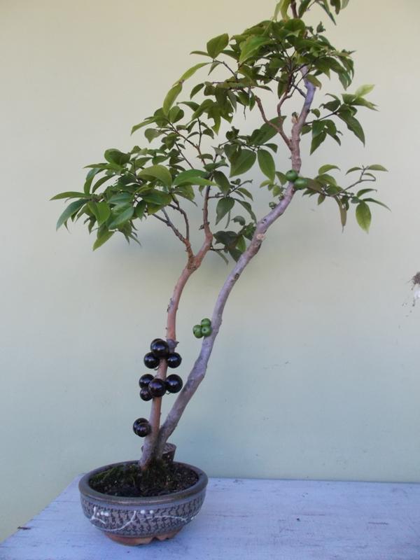 Bonsai de jabuticabeira bonsai empire - Como cultivar bonsais ...