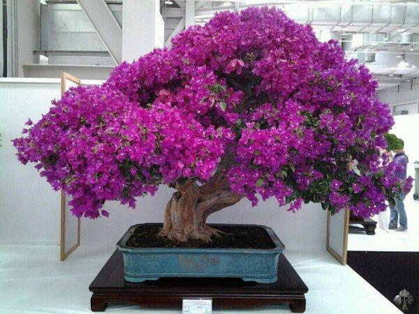 top 10 as mais populares fotos bonsai empire. Black Bedroom Furniture Sets. Home Design Ideas