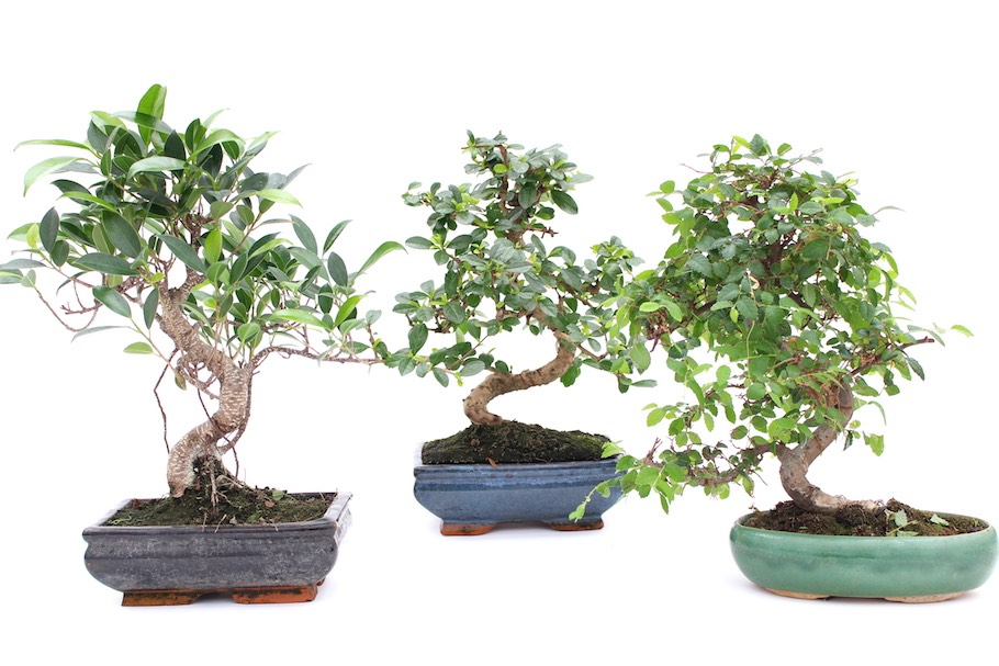 Árvores de bonsai de interior