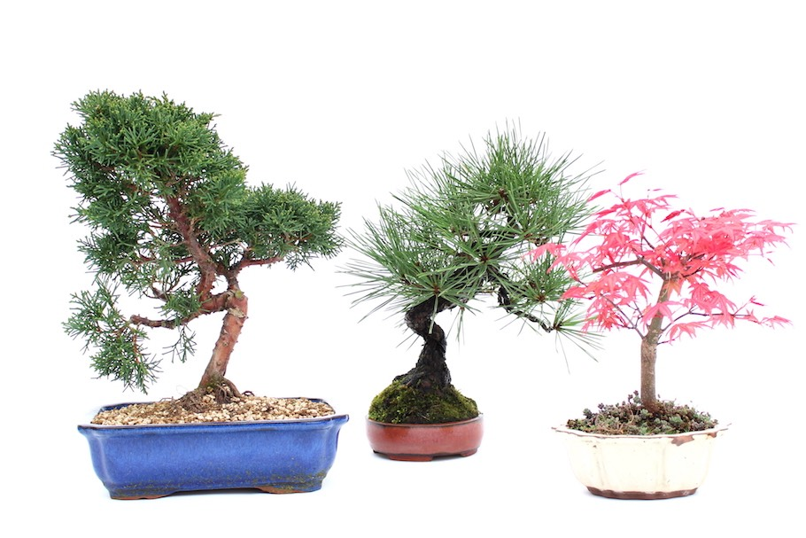 Outdoor Bonsai trees
