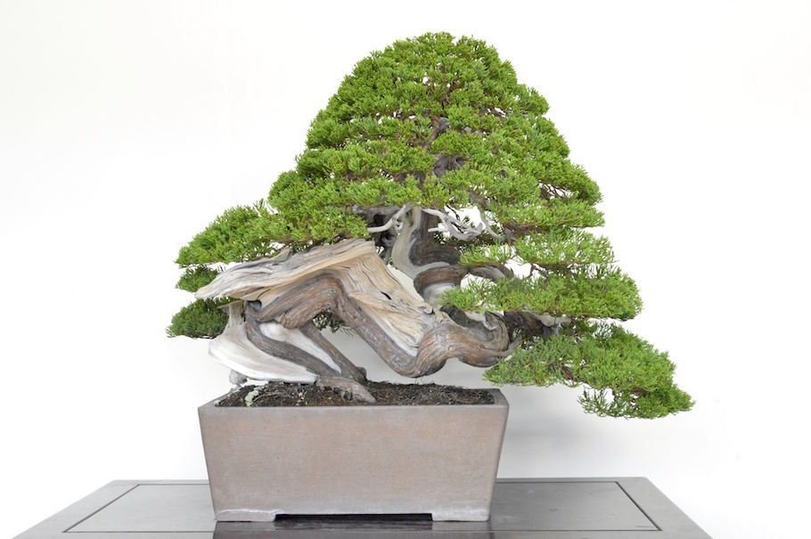 Jin and shari on Bonsai