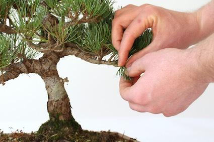 Pinçando um bonsai corretamente 6da7c7ed3e8
