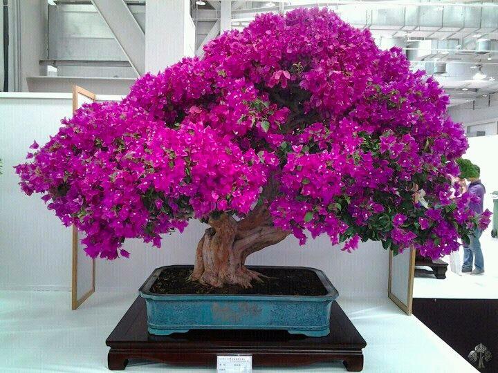 Rvores flor feras e frut feras bonsai empire - Arbre ver a soie ...