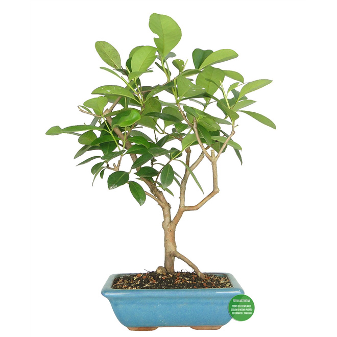 Bonsai de Araçá (Psidium cattleianum)