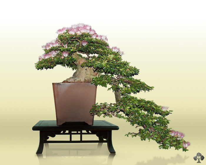 Calliandra Bonsai
