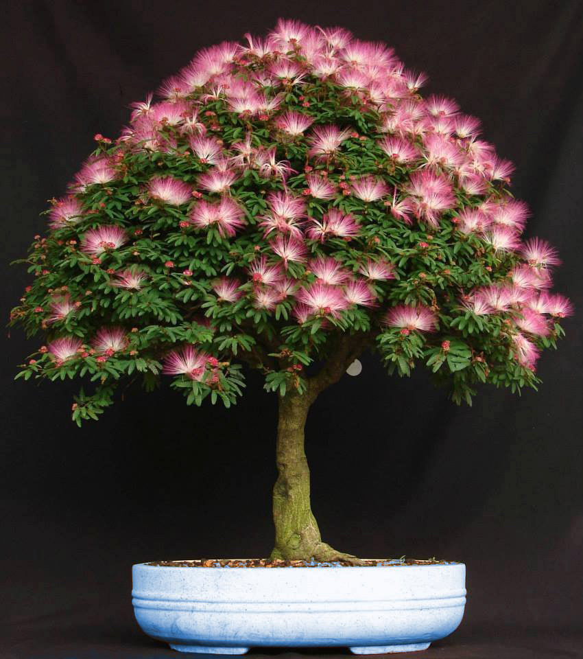 Bonsai de Calliandra