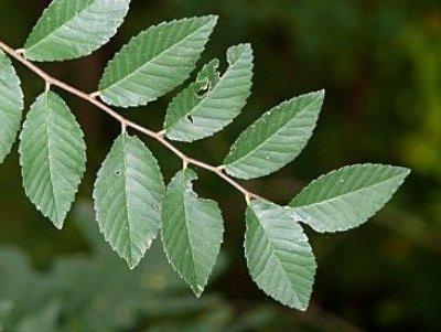 Resultado de imagem para folhas alternas