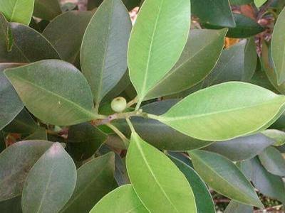 Identificar minha rvore bonsai empire - Variedades de ficus ...