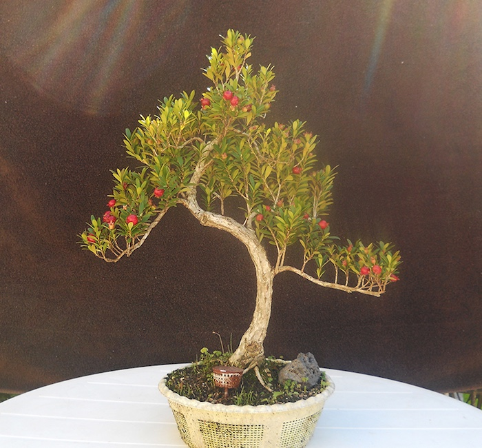 Cerejeira myrthus bonsai