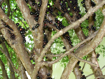 Jabuticaba bonsai