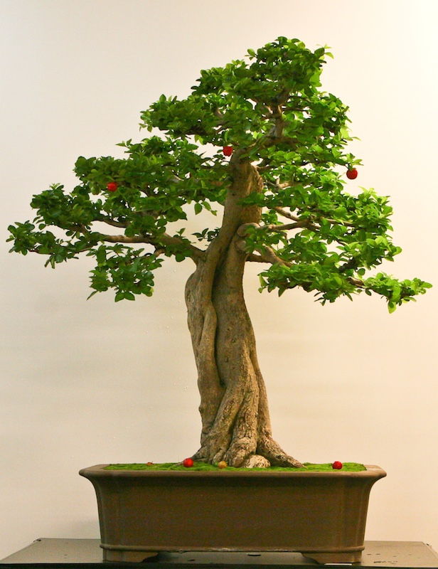 Acerola Bonsai